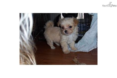 teacup chi poo puppies for sale chi poo chipoo puppy for sale near jackson mississippi 704c7ae0 9711