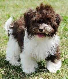 havanese club of america havanese dogs on havanese dogs havanese puppies and small hypoallergenic dogs