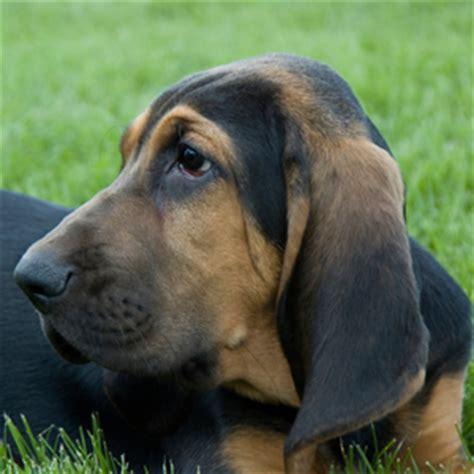 manly dogs bloodhound manly dogs askmen