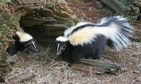 skunk the animals kingdom