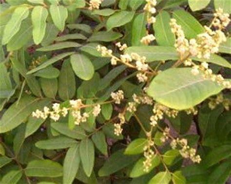 Pupuk Untuk Bunga Agar Cepat Berbunga 16 tips agar pohon kelengkeng cepat berbuah lebat pupuk