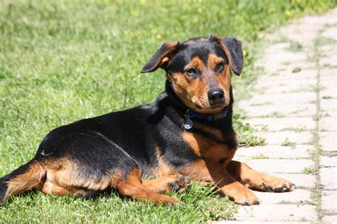 rottweiler dachshund dachshund rottweiler mix www imgkid the image kid has it