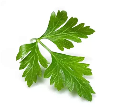 can dogs eat parsley can dogs eat parsley or celery quora