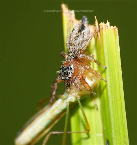 what eats bed bugs 10 pictures of spiders and insects eat other insects weird and wonderful news library