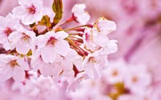 cherry blossom image cherry blossom kimono ai