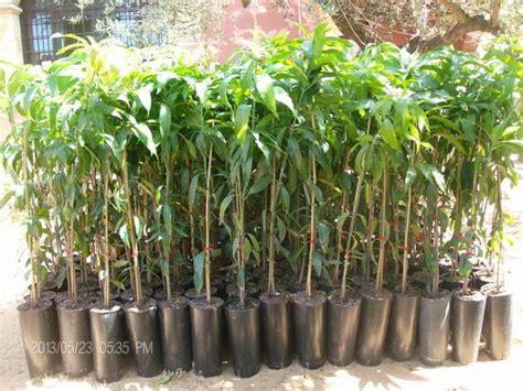 piante da frutto in vaso prezzi mango piante in vaso mango innestato vivaio meraviglie