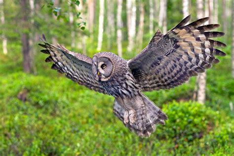 grey owl wallpaper aveek blogs the great grey owl
