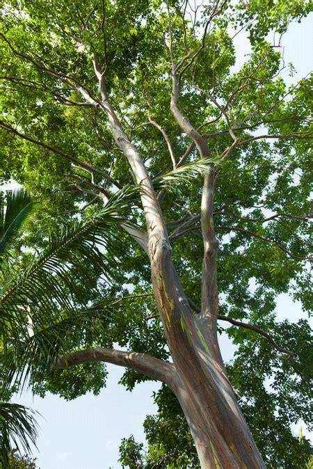 trees sales rainbow eucalyptus tree for sale fast growing trees