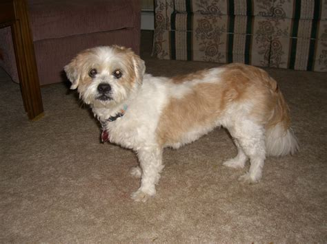 Do Lhasa Apso Shed by Lhasa Apso Mix Shedding 28 Images I Do Not