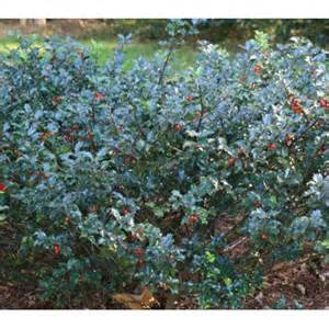 Evergreen Outdoor Lighting - blue princess holly