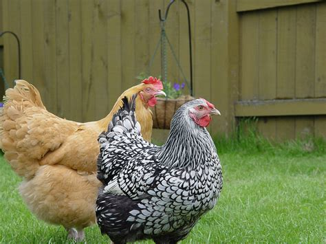 backyard chicken blog reasons why you should raise backyard chickens