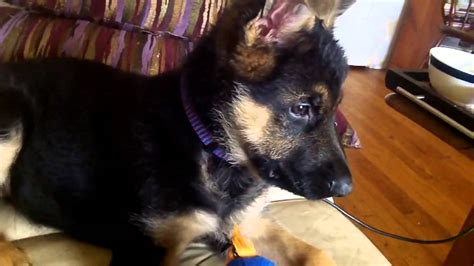 how to care for a german shepherd puppy coat care for a german shepherd puppy 2 to 5 months all german shepherds