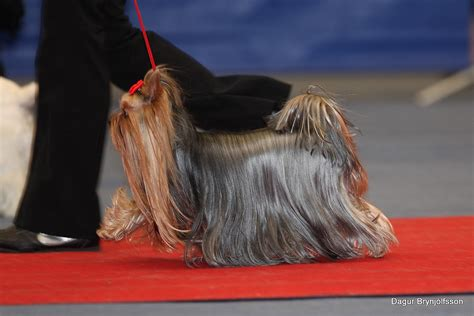 show yorkies file terrier at show jpg wikimedia commons