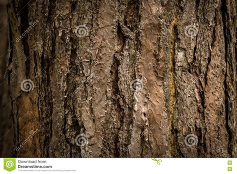 bark color bark texture of pine tree stock photo image of woods