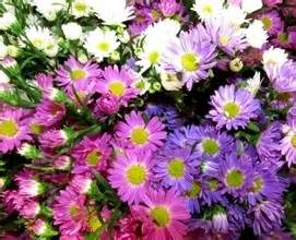 aster color bulk wholesale flowers wedding flowers aster