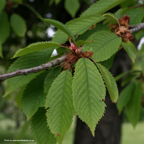 cherry tree leaves buy cherry gean tree free uk delivery free 3 year limited tree warranty