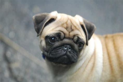 wanted pug puppy pug puppy wanted forum switzerland