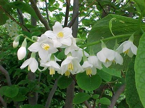 fragrant tree fragrant snowbell