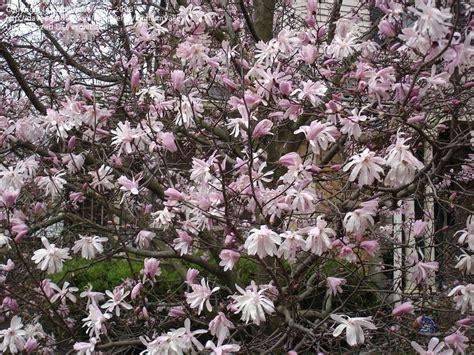 plantfiles pictures magnolia star magnolia jane platt