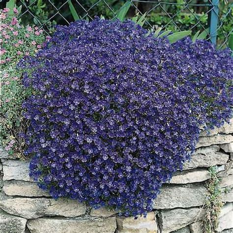 rock cress seeds aubrieta perennial flower seeds