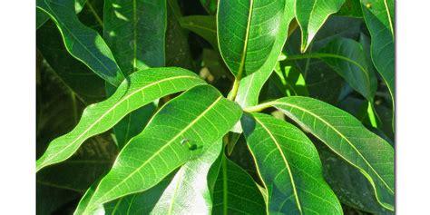 tanaman berdaun tunggal monica tancania