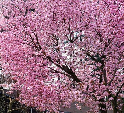 cherry blossom tree free photo cherry blossom cherry blossom tree free