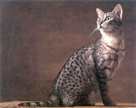 a cat in 2010 your pet cats ancestors living years pets