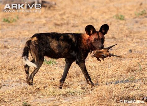 feral dogs photo lycaon pictus g133517 arkive