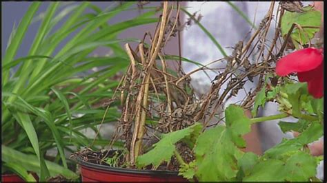 how to revive a dying plant mass appeal revive your dying plants youtube