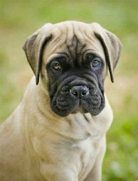 bull mastiff puppy bull mastiff puppies puppies photos photos breeds