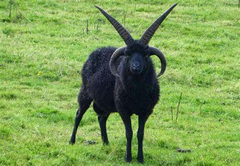 Black Goat   black goat blank template imgflip