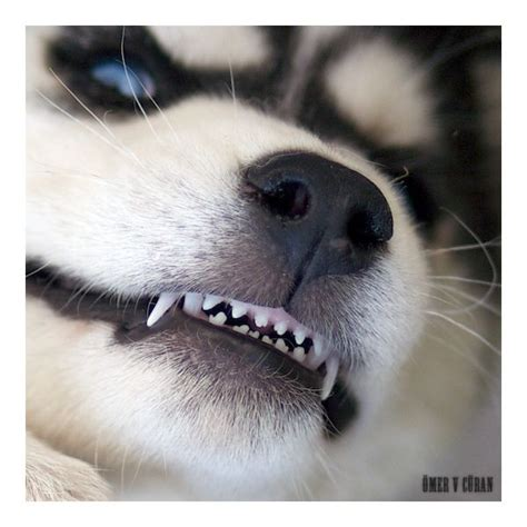 puppy teeth 17 best images about huskies on husky puppies husky and huskies