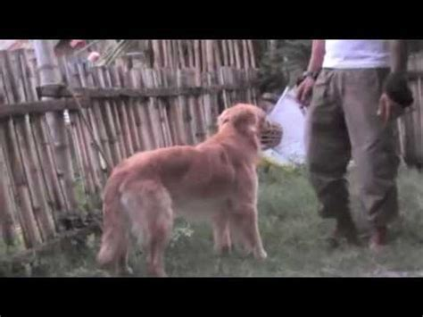aggressive golden retriever aggressive or pet golden retriever funnydog tv