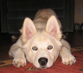 golden retriever husky mix blue goberian breed information and pictures
