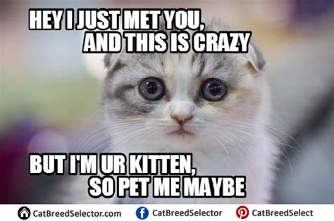 Kitten Meme - kitten memes cat breed selector