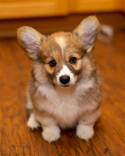 free corgi puppies corgi puppies at ten weeks 27 daniel stockman flickr