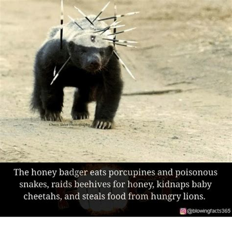 25 best memes about honey badger honey badger memes