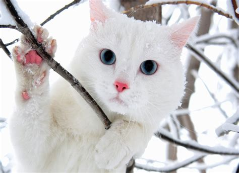 wallpaper cat white white cat wallpaper beautiful desktop wallpapers 2014