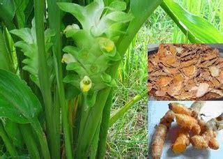 Obat Membersihkan Mata Yang Kuning ayam aduan indonesia kunyit sebagai obat herbal ayam aduan