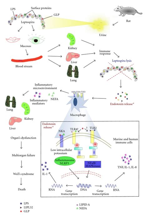 pathophysiology of leptospirosis diagram severe leptospirosis from the infection to immunological