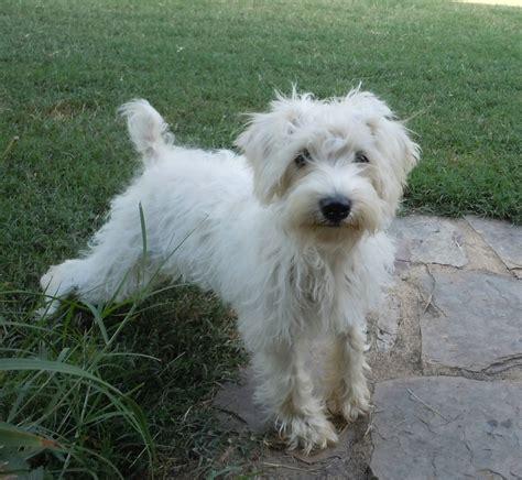 schnoodle puppies rescue newhairstylesformen2014 com dog schnoodle puppies for sale newhairstylesformen2014 com