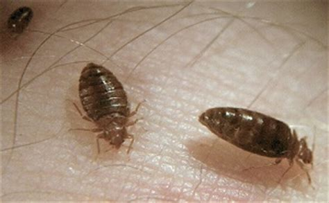 how long do bed bugs last bed bug bites how i survived it and other gross facts