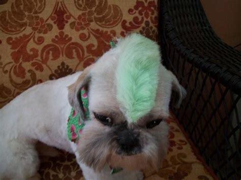 chewie  grooming shih tzu dogs dog haircuts