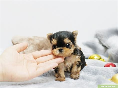 teacup yorkie for sale and teacup yorkie puppies for sale 505 570 6226 castle dale