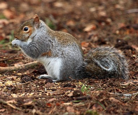 backyard squirrel hunting how to squirrel hunt tips tricks for early season squirrel hunting