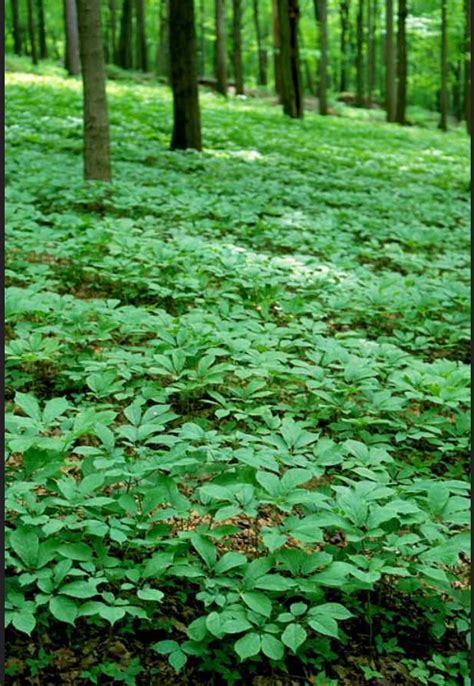 growing ginseng g2 ginseng best ginseng in the world comes from wisconsin
