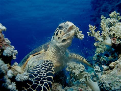 life of hawksbill sea turtle | life of sea