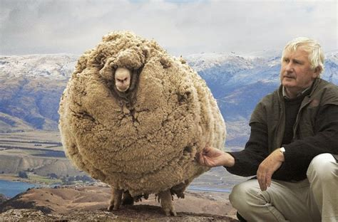 new year sheep story shrek the sheep the story of new zealand s fluffiest