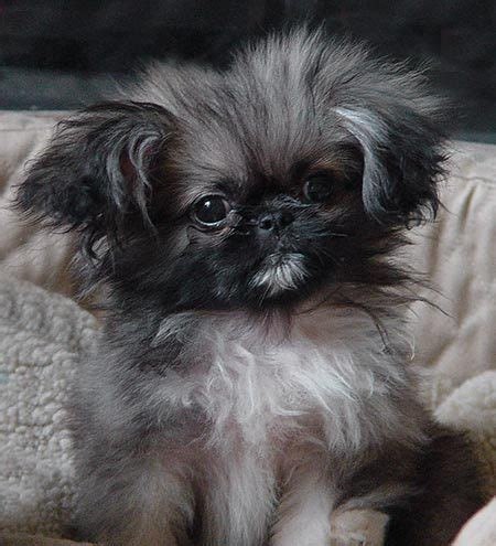 pekingese puppy tic tac the pekingese puppies daily puppy