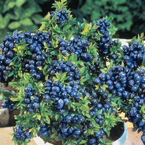 dwarf tophat blueberry gardens alive